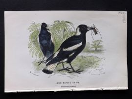 Gedney 1888 Antique Hand Col Bird Print. The Piping Crow.